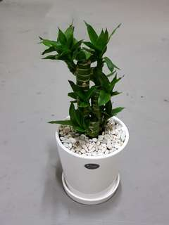Potted Plant n Porcelain Pot w Pebbles - Lucky Bamboo (25-30cm ht)