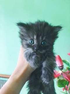 Pure Breed Persian Cat