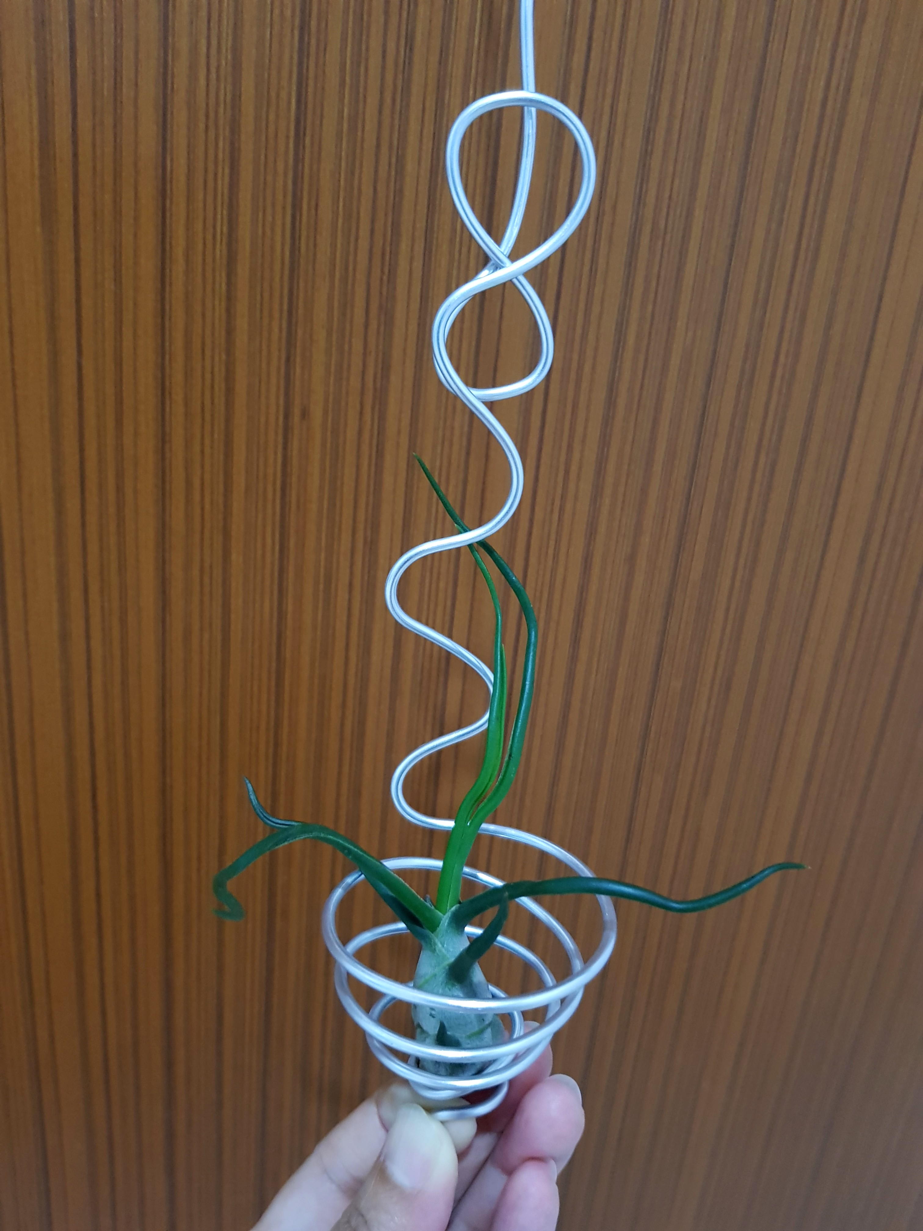 Air Plant with hanger for sale!