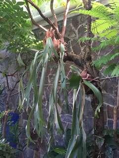 Tanaman Tanduk Rusa (Platycerium)