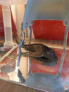 金爬魚 虎紋魚 魚缸 水泵