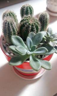 Potted Cactus and succulent plant