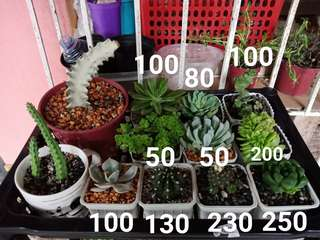 Semi rare and common cactus & succulents for sale!