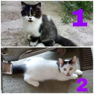 Kucing persia (kitten)