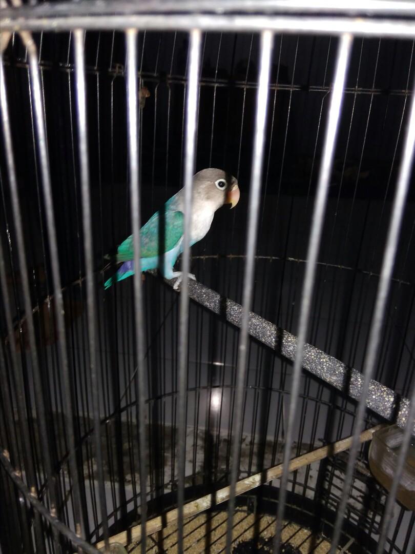 Lovebird 2biru 2hijau,kandang 2,1 kandang anakan kotak