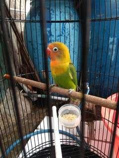 Lovebird hijau paud