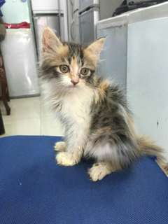 Kucing Persia Calico 2,5 Bulan, Betina, Super Long Hair