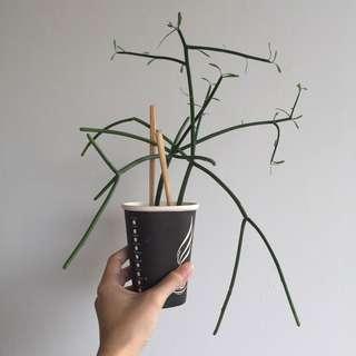 Pencil Cactus / Euphorbia Tirucalli