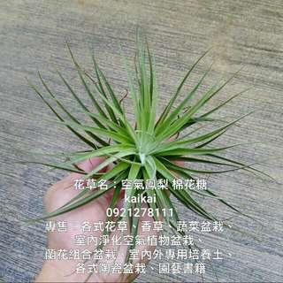 空氣鳳梨:棉花糖/不需土壤超好種植/地球最強植物