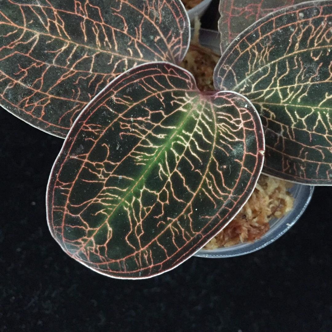Jewel Orchid Macodes Limii Gardening Plants On Carousell