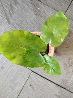 Alocasia macrorrhiza plant
