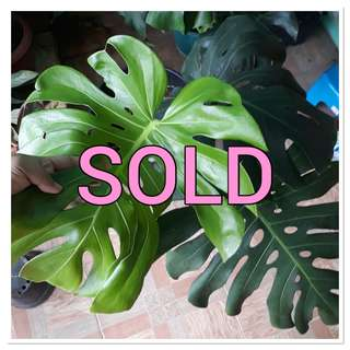 SOLD.BOOKED FULL MONSTERA INDUKAN