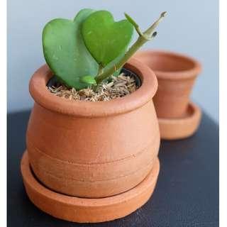 Hoya dengan Pot Bulat