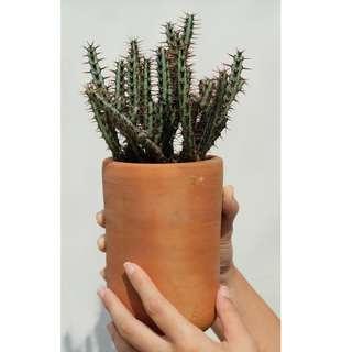 Kaktus Euphorbia
