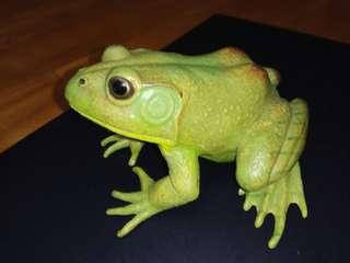 澳大利亞綠色樹蛙(Litoria caerulea)