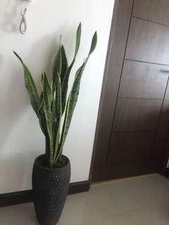Snake plant 🌱 (Indoor plant)