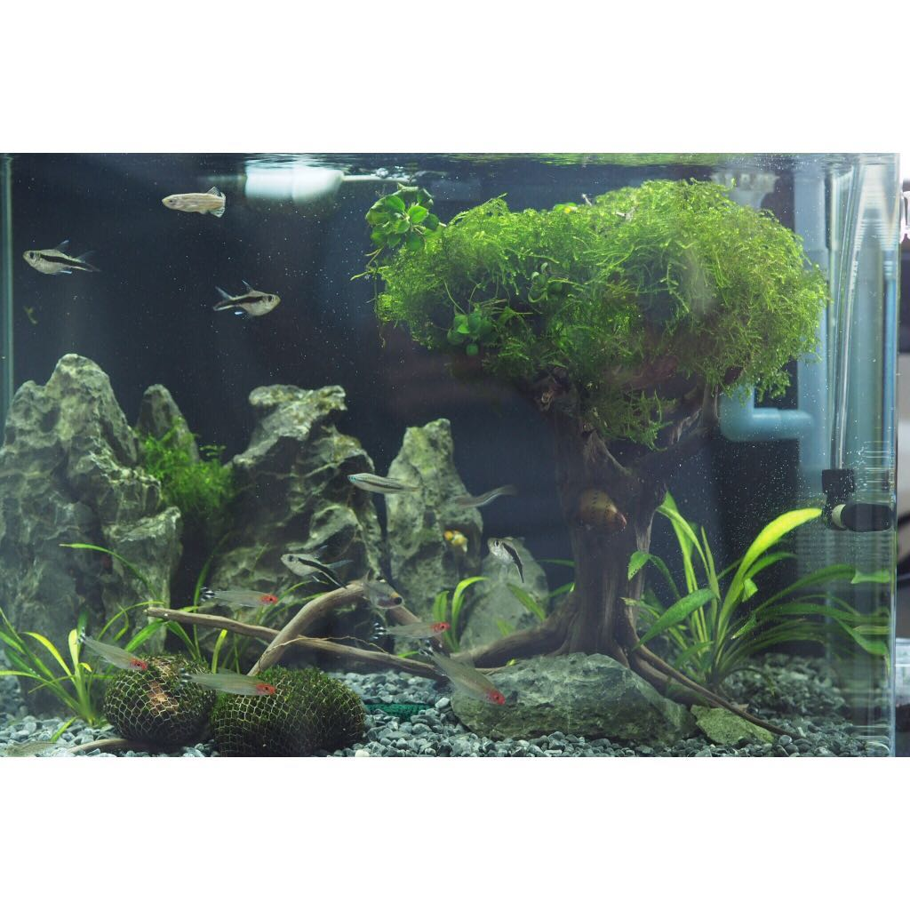 Aquarium Bonsai Tree With Moss Pet Supplies For Fish Fish Tank Accessories On Carousell