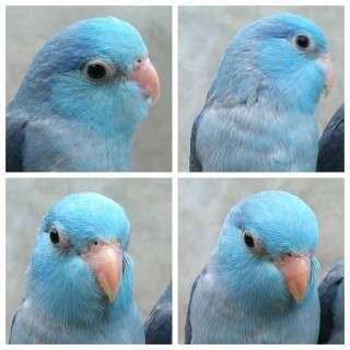 To buy -Female Baby blue pacific/Lutino parrotlet