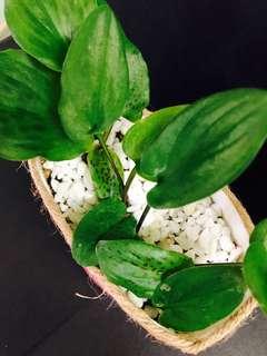 Lily of the valley plant 水點百合 油點百合 自家種植盆栽 容易打理 不用落肥 DIY花盆 室內植物 會開花的