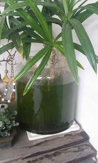 Mature Round Fish Tank c/w Plant.