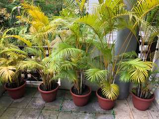 Yellows Palms (5 with pots)
