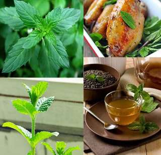 Japanese Mentha Mint Seeds