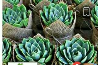 ROSE CABBAGE SUCCULENT PLANT