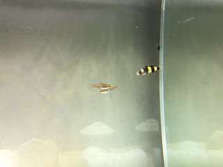 3 Bumblebee gobies for $5