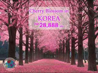Cherry blossoms in Korea 5 days 4 nights