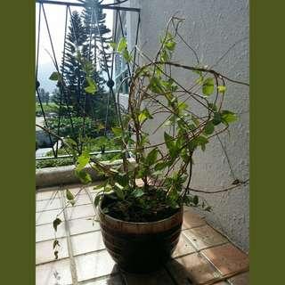 漂亮的爬牆植物連盆-65cm高