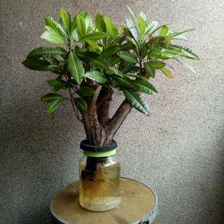 WATER BONSAI