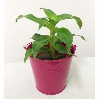 Indoor Plant - Callisia Fragrans with bucket