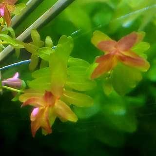Aquatic Plants Aquarium Plants Mini Rotala Mini Butterfly