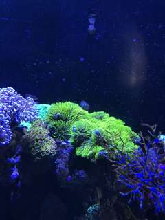 Green star polyp coral
