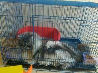 Kucing anggora mix persia