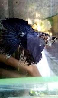 Ikan cupang HM Blue fancy