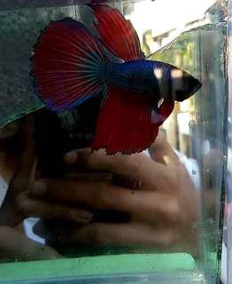 Ikan cupang HM red fancy