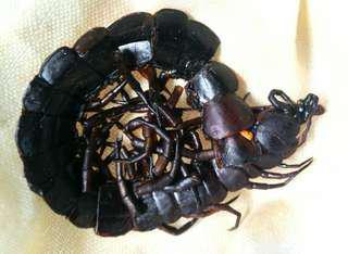 Price Reduced Authentic Black red purple centipede pearl lipan