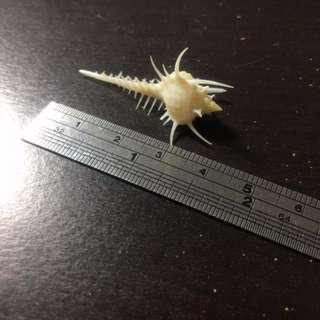 貝殼 海洋飾品 Shell