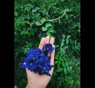 🚚 臺東阿嬤自產自曬(非泰國進口)乾燥蝶豆花瓣 蝶豆花茶 天然藍色色素花青素抗氧化