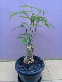 Jual Pohon Pachira Aquatica