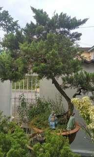 Garde Juniper Bonsai Trees in Vintage Pots