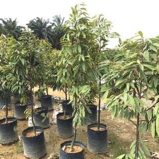 Big Musang King Tree