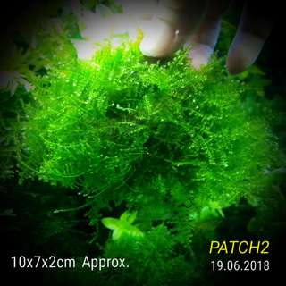 Aquatic Christmas Anchor Moss Healthy & Lush Compact Patch High Grade (Not Loose Form) Beautifully for Shrimps Tank STAY COMPACT & LUSH !! Now Smaller Patch Available
