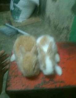 Anakan kelinci anggora