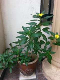 Plant pokok Bunga Delapan with pot