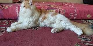 Di jual kucing persia Longhair flatnose