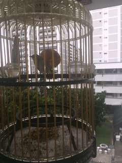 2 caught Puteh birds for sale