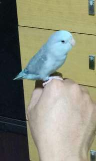 Male Blue Parrotlet