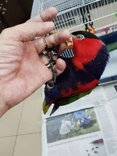 Tamed black capped lory